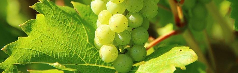 Weinbaugebiet Südliche Mosel: Rebflächen zu verkaufen / zu verpachten